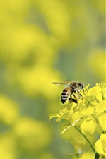Yellow rapeseed flowers, bee, bokeh