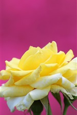 Preview iPhone wallpaper Yellow rose, purple background