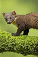 Preview iPhone wallpaper Animals, marten, moss