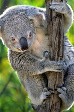 Preview iPhone wallpaper Australia, cute koala, marsupials