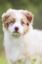 Preview iPhone wallpaper Australian shepherd, cute dog, grass, bokeh