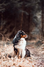 Preview iPhone wallpaper Australian shepherd, forest, dog