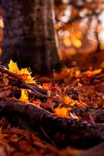 Preview iPhone wallpaper Autumn, forest, yellow maple leaves