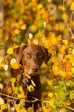 Preview iPhone wallpaper Autumn, yellow leaves, dog