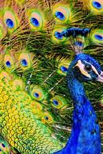 Красивая птица, павлин