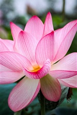 Preview iPhone wallpaper Beautiful pink lotus, petals, leaves