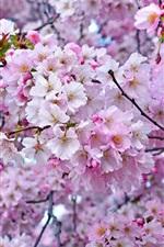 Beautiful sakura, spring, tree