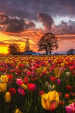 Preview iPhone wallpaper Beautiful tulip fields at sunset, houses, trees, clouds