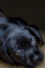 Preview iPhone wallpaper Black puppy sleep