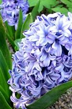 Blue hyacinth flowers, field