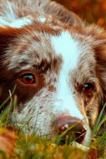 Preview iPhone wallpaper Border collie rest, autumn, grass