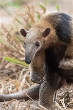 Preview iPhone wallpaper Brazil, animals close-up, anteater