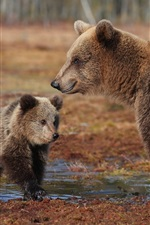 Preview iPhone wallpaper Brown bears, cub, water