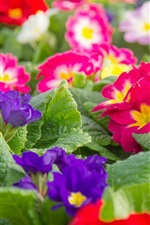 Preview iPhone wallpaper Colorful primrose, flowers photography
