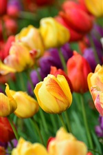 Colorful tulips, water drops
