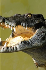 Preview iPhone wallpaper Crocodile, big mouth, water