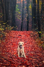 Preview iPhone wallpaper Dog in autumn, forest, red maple leaves ground