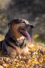 Preview iPhone wallpaper Dog rest, yellow leaves, autumn