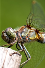 Preview iPhone wallpaper Dragonfly, insect, macro photography