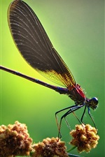 Preview iPhone wallpaper Dragonfly side view, green background