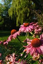 Preview iPhone wallpaper Echinacea flowers, garden