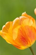 미리보기 iPhone 배경 화면 꽃 근접 촬영, 오렌지 튤립