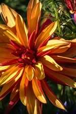 Preview iPhone wallpaper Flowers close-up, orange petals, sunlight