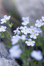 Preview iPhone wallpaper Forget-me-not, blue flowers, spring