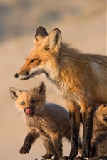 Preview iPhone wallpaper Foxes, family, mom and cubs