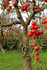 Preview iPhone wallpaper Fruit garden, red apples, trees, harvest