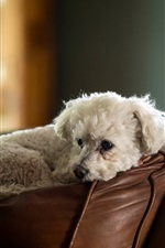 Preview iPhone wallpaper Furry white dog rest on sofa