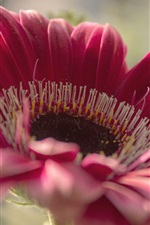 Preview iPhone wallpaper Gerbera, pink petals, flower macro photography