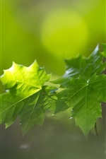 Preview iPhone wallpaper Green maple leaves, bokeh, summer