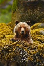 Preview iPhone wallpaper Grizzly, bear, Canada, British Columbia