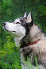 Cão ronco, grama, folhas verdes