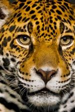 Preview iPhone wallpaper Jaguar front view, face, predator