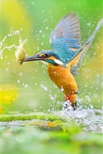Preview iPhone wallpaper Kingfisher catching fish, water splash, lotus