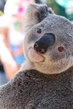 Koala olha para trás