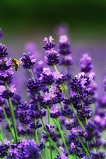 Preview iPhone wallpaper Lavender flowers, bees