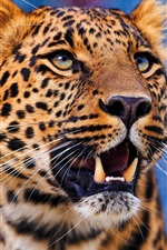 Preview iPhone wallpaper Leopard front view, teeth, predator