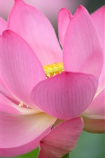 Preview iPhone wallpaper Lotus, pink flower, macro photography