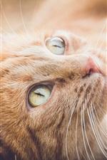 Preview iPhone wallpaper Orange cat rest, look up