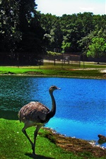 Preview iPhone wallpaper Ostrich, pond, zoo