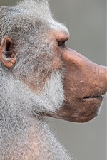 Macaco pavão