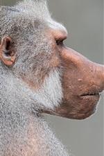 Preview iPhone wallpaper Pavian monkey