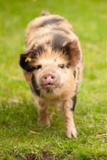 Preview iPhone wallpaper Pig walk on grass