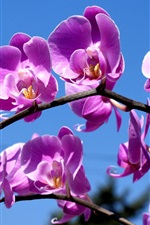 Preview iPhone wallpaper Purple phalaenopsis, blue sky