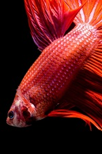 Preview iPhone wallpaper Red fish, black background