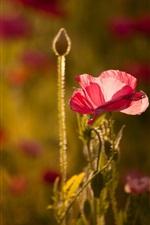 Red flowers, poppy, light