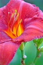 미리보기 iPhone 배경 화면 붉은 백합 꽃 매크로 사진